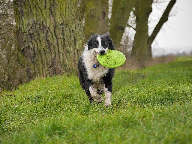 フリスビー犬にキャッチを教える飼い主